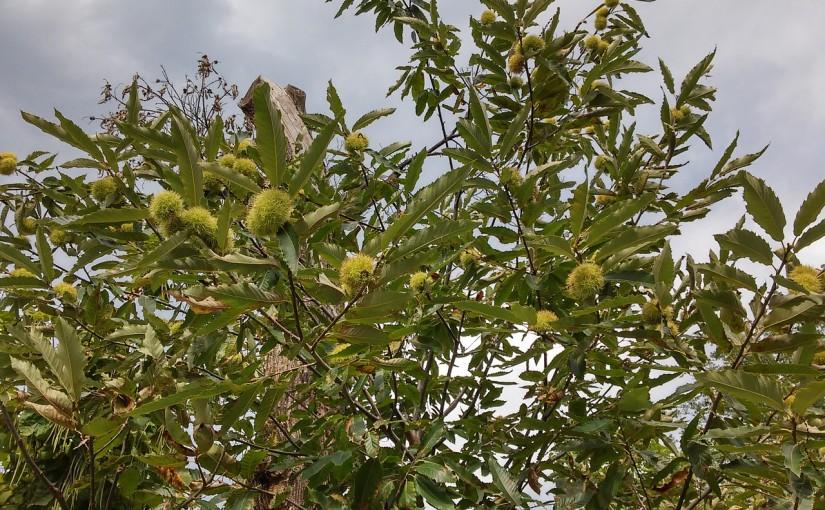 Esskastanie – Baum des Jahres 2018